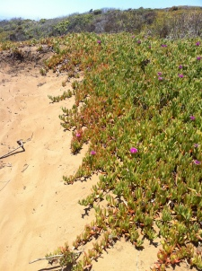Montana De Oro kind of semi-succulent beach/dune/rock flower.