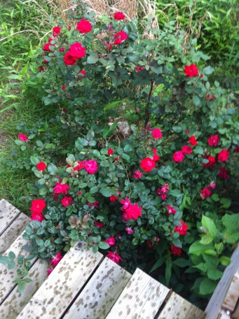 When I got home to my own ecosystem, my big rosebush was laden with flowers!