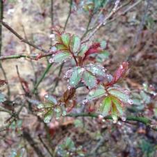 Ahhh! My beloved rosebush is leafing out.
